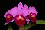 20171547 - Rlc.  Doc's  Holiday  'Iowa' AM/AOS (82 points) 12-9-2017 (Robert Bannister)
