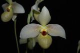 20182050  -  Paph.  Memoria  Larry  Heuer  'Livingston'  CCE/AOS  (92  points)  1-13-18  (Kim  Livingston)  flower