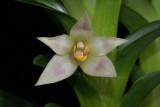 20182077  -  Camaridium  (Maxillaria)  carinulata  'Orkiddoc'  CBR/AOS  2-10-2018  (Larry  Sexton)  flower