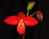 20182062  -  Phrag.  Jason  Fischer  'Ryu'  AM/AOS  (85  points)  1-27-18  (Orchids, Ltd.)