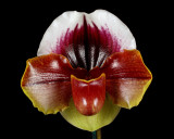 20182068  -  Paph.  Red's  Red  'Lauren'  HCC/AOS  (79  points)  1-27-18  (Arnold  Klehm)