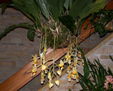 20182069  -  Stanhopea  oculata  'Ruth  Marie  Christian'  CCM/AOS  (80  points)  2-3-18  (Olbrich  Gardens)  plant