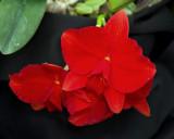 20182084  -  Cattleya  Minipet  'Carolla  Rose'  HCC/AOS  (77  points)  2-24-18  (James  Ault)