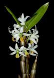 20182092  -  Dendrobium  scabrilinge  'Biju'  HCC/AOS  (78  points)  3-10-18  (Steve  Gonzalez)  plant