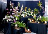 20182087  -  Exhibit  'Illinois  Magic'  ST/AOS  (83  points) 3-3-18  (Illinois Orchid Society)