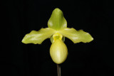 20182101 - Paph. Pedro's Moon 'Timberlane' HCC/AOS (77 points) 3-24-18 (Marcia Whitmore)