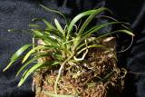 20182107  -  Angraecum  caulescens  'Sunprarie'  CBR/AOS  4-14-2018  (Bil  Nelson)  plant