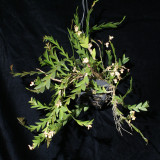 20182116 - Dendrobium acinaciforme 'Orkiddoc' CBR/AOS 6-9-2018 (Larry Sexton) plant