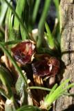 20182121 - Maxillaria nardoides 'Orkkidoc' CBR/AOS 7-14-2018 (Larry Sexton)  flower