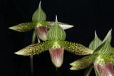 20182122 - Paphiopedilum sukhakulii 'Brier Hill' CCM/AOS (87 points) 7-14-2018 (Arnold Klehm)  flower