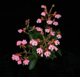 20182125 - Habenaria rhodocheila subsp. rhodocheila 'Hab Haven' AM/AOS (81 points) 8-11-2018 (Joel Edwards)