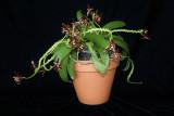20182126 - Phalaenopsis cornu-cervi var. chattaladae 'Livingston' CCMAOS (82 points) 8-11-2018 (Steve and Kim Livingston)