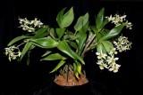 20182146 Dendrobium Green Mist 'Josephine' CCM/AOS (82 points) 10-26-2018 (Nancy Thomas) plant