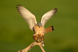 D4S_7380F kleine torenvalk (Falco naumanni, Lesser Kestrel).jpg