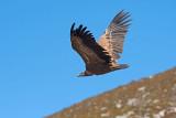 500_1245F vale gier (Gyps fulvus, Griffon Vulture).jpg