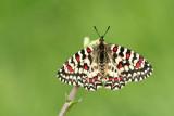 500_0547F Spaanse pijpbloemvlinder (Zerynthia rumina, Spanish festoon).jpg