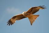 500_0681F rode wouw (Milvus milvus, Red kite).jpg