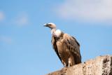 500_0719F vale gier (Gyps fulvus, Griffon Vulture).jpg