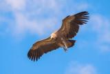 500_0744F vale gier (Gyps fulvus, Griffon Vulture).jpg