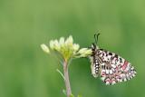 500_0434F Spaanse pijpbloemvlinder (Zerynthia rumina, Spanish festoon).jpg