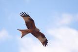 500_1060F rode wouw (Milvus milvus, Red kite).jpg