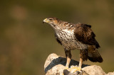 D4S_6524F havikarend (Aquila fasciata, Bonelli's Eagle).jpg