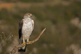 500_1475F havikarend mn. (Aquila fasciata, Bonelli's Eagle).jpg