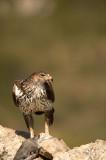 D4S_6679F havikarend (Aquila fasciata, Bonelli's Eagle).jpg
