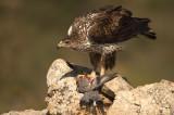 D4S_6859F havikarend (Aquila fasciata, Bonelli's Eagle).jpg