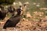 D4S_6001F monniksgier (Aegypius monachus, Cinereous Vulture).jpg