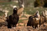 D4S_5925F monniksgier (Aegypius monachus, Cinereous Vulture)+vale gier (Gyps fulvus, Griffon Vulture).jpg