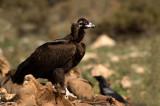 D4S_5911F monniksgier (Aegypius monachus, Cinereous Vulture).jpg