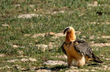 D4S_5828F lammergier (Gypaetus barbatus, Bearded Vulture).jpg