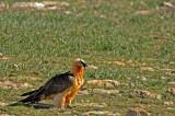 D4S_5822F lammergier (Gypaetus barbatus, Bearded Vulture).jpg