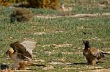 D4S_5837F lammergier (Gypaetus barbatus, Bearded Vulture).jpg