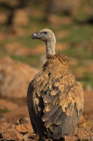 D4S_6016F vale gier (Gyps fulvus, Griffon Vulture).jpg