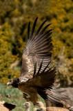 D4S_6157F lammergier (Gypaetus barbatus, Bearded Vulture).jpg