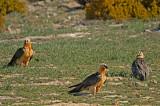D4S_5811F lammergier (Gypaetus barbatus, Bearded Vulture).jpg