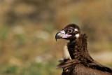 D4S_5884F monniksgier (Aegypius monachus, Cinereous Vulture).jpg