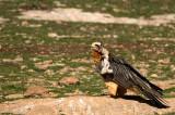 D4S_6330F lammergier (Gypaetus barbatus, Bearded Vulture).jpg