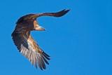 500_1215F vale gier (Gyps fulvus, Griffon Vulture).jpg
