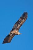 500_1216F vale gier (Gyps fulvus, Griffon Vulture).jpg