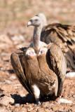 500_1222F vale gier (Gyps fulvus, Griffon Vulture).jpg
