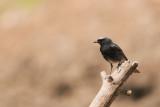 500_0687F zwarte roodstaart (Phoenicurus ochruros, Black Redstart).jpg