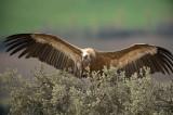 D4S_4630F vale gier (Gyps fulvus, Griffon Vulture).jpg