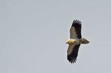 D4S_4958F aasgier (Neophron percnopterus, Egyptian Vulture).jpg