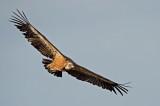D4S_4979F vale gier (Gyps fulvus, Griffon Vulture).jpg