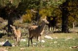 D4S_6038F edelhert (Cervus elaphus, Red deer).jpg