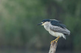 D4S_1616F kwak (Nycticorax nycticorax, Black-crowned Night Heron).gif