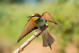500_3759F bijeneter (Merops apiaster, European Bee-eater).jpg